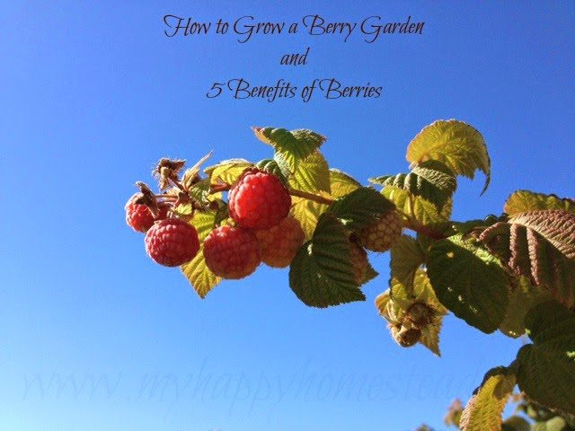 How to Grow a Berry Garden, Strawberries, Blackberries, Rasperries,