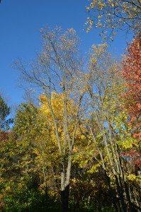 Falltrees1015