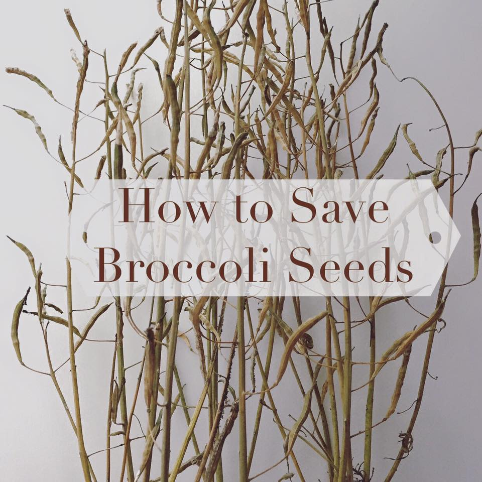 How to save broccoli seeds and do a seed germination test
