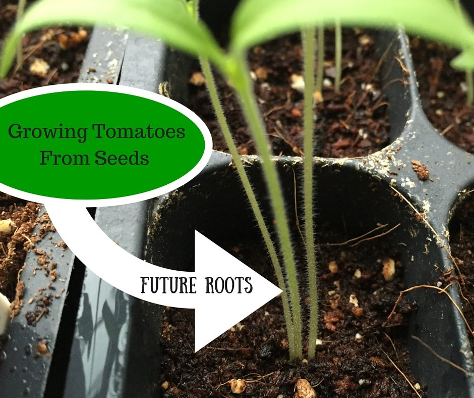 How to grow tomato seeds and how to transplant tomato seedlings - includes a how to video and pics for step by step beginner gardening